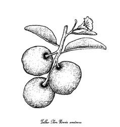 Hand drawn of fresh tallow plum on white backgroun vector