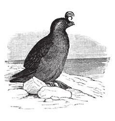 Crested auklet vintage vector