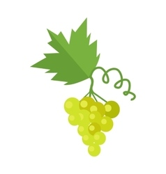 Bunch of white wine grape vector
