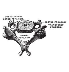 Cervical vertebra vintage vector