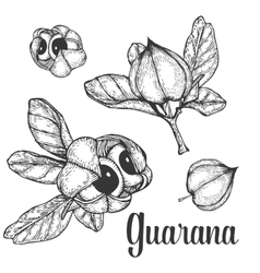 Guarana seed fruit berry energetic diet caffeine vector image