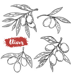 set of hand drawn olive isolated on white vector image vector image