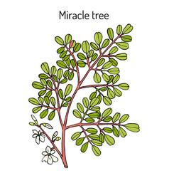 miracle tree moringa oleifera  medicinal plant vector image
