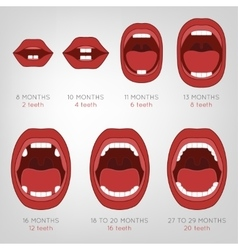 Baby first teeth chart vector