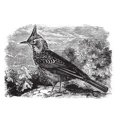 Crested lark vintage vector