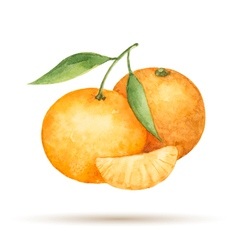 Mandarin hand drawn watercolor vector