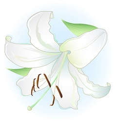White lily on light blue background vector