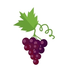 Bunch of red wine grape vector