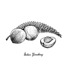 Hand drawn of indian gooseberry on white backgroun vector