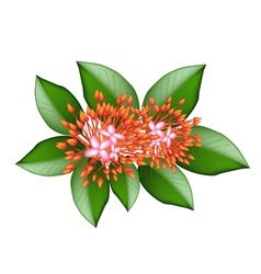A group of fresh red ixora flowers vector