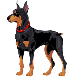 Doberman guard dog vector