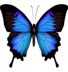 blue butterfly papilio ulysses mountain swallowtai vector image