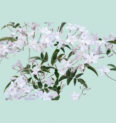 star jasmine vector image