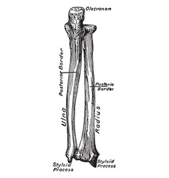 Dorsal view of the bones of the forearm vintage vector