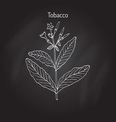 tobacco plant vector image