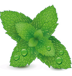 fresh mint leaves isolated on white background vector image