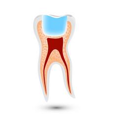 Realistic teeth anatomy isolated on vector