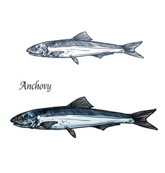 Anchovy fish isolated sketch for seafood design vector