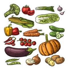 Set vegetables cucumbers garlic corn pepper vector
