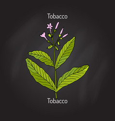 Tobacco plant vector