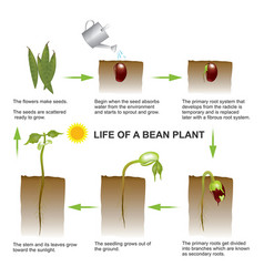 Life of a bean plant education info graphic vector