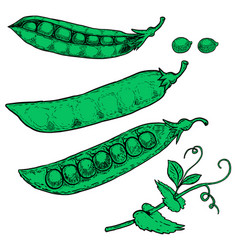 set of hand drawn peas isolated on white vector image vector image