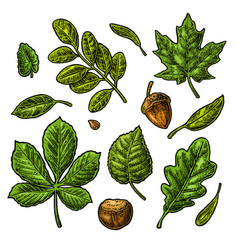 Set green leaf acorn chestnut and seed vector