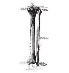 Bones of the lower leg vintage vector