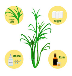 sugar cane and products of caneglass and bottle of vector image vector image