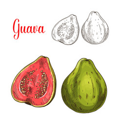 Guava fruit isolated sketch for food design vector