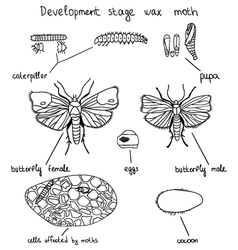 Development stage wax moth vector
