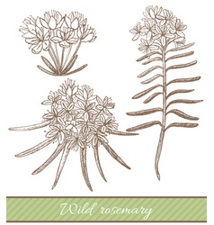 hand drawn of wild rosemary vector image