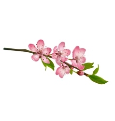 Cherry blossom sakura flowers isolated vector image