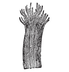 Cross striped muscular tissue vintage vector