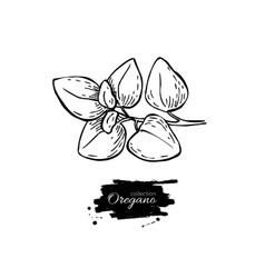Oregano drawing Isolated Oregano plant vector image