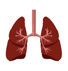 Human lungs anatomy vector