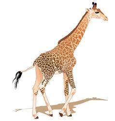 African Giraffe vector image