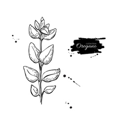 Oregano drawing Isolated Oregano plant vector image vector image