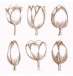 Hand drawn tulips at different stages of growth vector