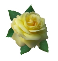 Rose yellow color vector