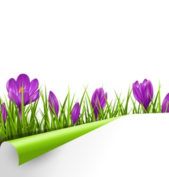 Green grass lawn with violet crocuses and wrapped vector image