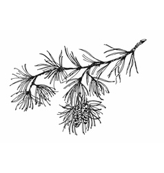 Coniferous branch with pine cones vector
