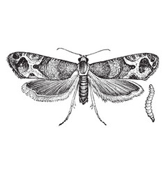 European grapevine moth vintage vector