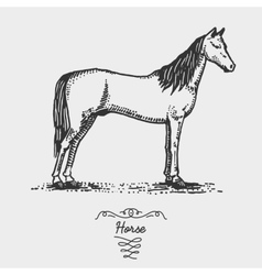 Horse engraved hand drawn in vector