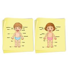 Anatomy of boy and girl vector image vector image