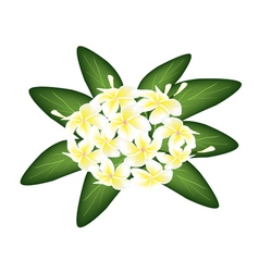A Group of White Beauty Plumeria Frangipanis vector image