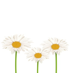 Three chamomiles isolated on white floral nature vector