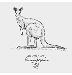 The western grey kangaroo engraved hand drawn vector