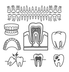 Human tooth anatomy vector