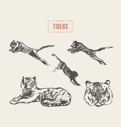 set tigers drawn sketch vector image